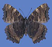 Männchen, Unterseite